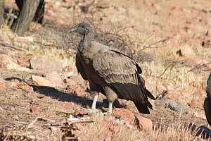 Andean condor, (Vultur gryphus), juvenile female, near Santiago, Chile, South America.  -  JIM CLARE