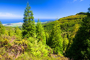 Japanese cedar (Cryptomeria japonica) forests near Fogo Lake with view down to Atlantic Ocean. Sao Miguel Island, Azores, Portugal. 2019. - Juan Manuel Borrero