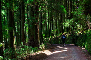 Hiker on track through Japanese cedar (Cryptomeria japonica) plantation. Devasa mountain range, Sao Miguel Island, Azores, Portugal. 2019. - Juan Manuel Borrero