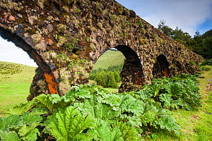 Carvao aqueduct with Chilean rhubarb (Gunnera tinctoria) at base. Devasa mountain range, Sao Miguel Island, Azores, Portugal. 2019. - Juan Manuel Borrero