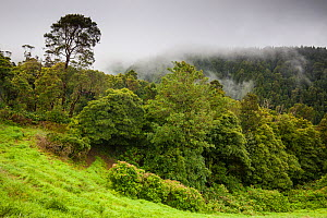 Laurisilava forest in low cloud. Lombadas Valley Nature Reserve, Sao Miguel Island, Azores, Portugal. 2019. - Juan Manuel Borrero