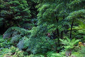 Laurel and Ferns in laurisilva forest. Natural Monument of Caldeira Velha, Ribeira Grande, Sao Miguel Island, Azores, Portugal. - Juan Manuel Borrero