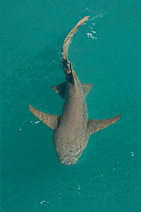 Tawny nurse shark (Nebrius ferrugineus) at water surface. Talbot Bay, The Kimberley, Western Australia.  -  Rick Price