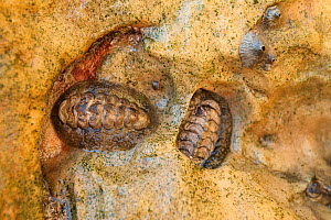 Gemmate Chiton (Acanthopleura gemmata) in rock recess for protection. Bigge Island, Bonaparte Archipelago, The Kimberley, Western Australia.  -  Rick Price