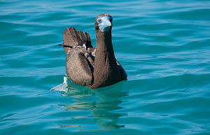 Brown booby (Sula leucogaster) on sea. Lacepede Islands Nature Reserve, The Kimberley, Western Australia.  -  Rick Price