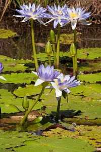 Water lilies (Nymphaeaceae). Ord River, The Kimberley, Western Australia.  -  Rick Price