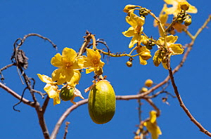 Kapoc tree(Chorisia speciosa) flowers and fruit. Ord River, The Kimberley, Western Australia.  -  Rick Price