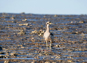 Beach stone-curlew (Esacus magnirostris) standing on exposed reef. Montgomery Reef, Doubtful Bay, The Kimberley, Western Australia.  -  Rick Price
