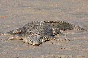 Estuarine crocodile (Crocodylus porosus) basking on mudbank. Prince Frederick Harbour, Hunter River, The Kimberley, Western Australia.  -  Rick Price