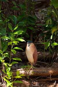 Nankeen night heron (Nycticorax caledonicus) standing on log. Ord River, The Kimberley, Western Australia.  -  Rick Price