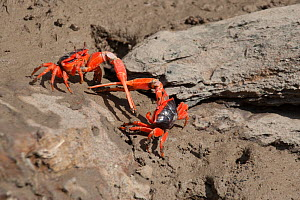 Flame fiddler crab (Uca flammula), two males displaying and fighting with sword-like pincers. Cyclone Creek, Talbot Bay, The Kimberley  -  Rick Price