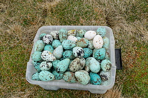 Common murre / guillemot (Uria aalge) eggs in box. Foraged from Skoruvikurbjarg cliffs, Langanes Peninsula, Iceland. May 2018.  -  Terry  Whittaker