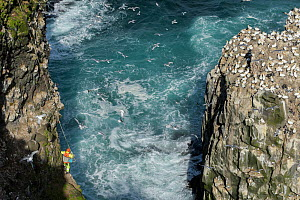 Man being lowered down cliff to collect seabird eggs including those of Common murre/ guillemot (Uria aalge) and Black-legged kittiwake (Rissa tridactyla). Gannet (Morus bassanus) colony on opposite c... - Terry  Whittaker