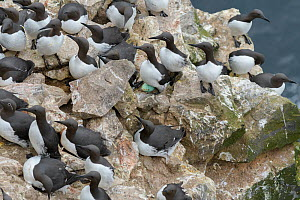 Common murre / guillemot (Uria aalge) breeding colony. Skoruvikurbjarg cliffs, Langanes Peninsula, Iceland. May. - Terry  Whittaker