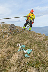 Man being lowered over cliff edge to collect seabird eggs. Pile of eggs on cliff top including those of Common murre / guillemot (Uria aalge). Skoruvikurbjarg cliffs, Langanes Peninsula, Iceland. May... - Terry  Whittaker