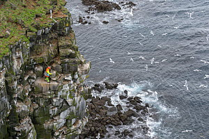 Man being lowered down cliff to collect seabird eggs including those of Black-legged kittiwake (Rissa tridactyla) and Common murre / guillemot (Uria aalge). Skoruvikurbjarg cliffs, Langanes Peninsula,... - Terry  Whittaker