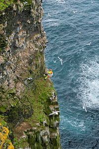 Man being lowered down steep cliff face to collect seabird eggs, including those of Common murre / guillemot (Uria aalge). Skoruvikurbjarg cliffs, Langanes Peninsula, Iceland. May 2018. - Terry  Whittaker