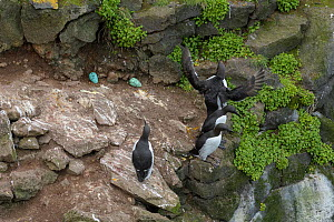 Common murre / guillemot (Uria aalge) four in breeding colony, eggs exposed on rock surface. Langanes Peninsula, northeast Iceland. May. - Terry  Whittaker