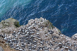 Common murre / guillemot (Uria aalge) breeding colony on cliff edge. Langanes Peninsula, northeast Iceland. May. - Terry  Whittaker