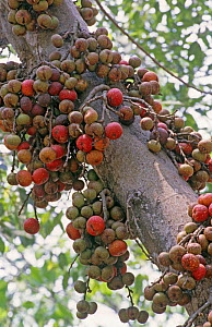 Cluster-fig tree (Ficus racemosa) fruits China growing from trunk. Eaten by squirrels, monkeys and birds. Flowers are pollinated by minute wasps. Xishuangbanna, Yunnan Province, China.  -  Heather Angel