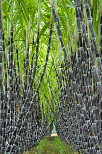 Black sugar cane (Saccharum officinarum) cultivated for sucrose in the stem, obtained by crushing. China. - Heather Angel