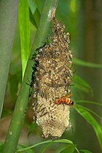 Hornet raiding Wasp brood on nest attached to bamboo stem. Wasps moving to top of nest. Shunan Zhuhai National Park, Sichuan Province, China. - Heather Angel