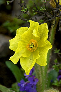 Yellow lampshade poppy / Yellow poppywort (Meconopsis integrifolia) after rainfall. Sichuan Province, China. - Heather Angel