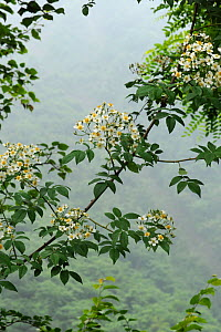 Climbing rose (Rosa filipes) flowering in misty forest. Wolong, Sichuan Province, China. - Heather Angel