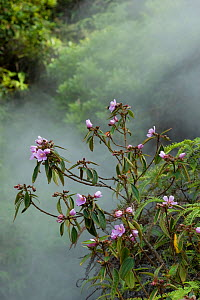 Melastome (Melastoma polyanthum) flowering in forest, steamy from thermal spring. Tengchong, Yunnan Province, China. - Heather Angel