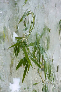 Bamboo encased by icicles formed beside a waterfall. Wolong, Sichuan Province, China. February. - Heather Angel