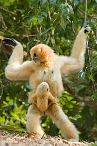Chinese white cheeked gibbon (Nomascus leucogenys) female walking whilst carrying baby aged two weeks, holding on to vines for support. Parents released into wild from captive breeding programme. Wild... - Heather Angel