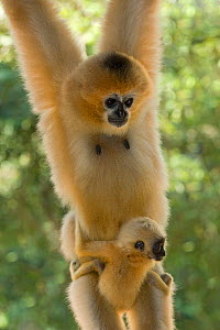 Chinese white cheeked gibbon (Nomascus leucogenys) female hanging, carrying baby aged two weeks. Parents released into wild from captive breeding programme. Wild Elephant Valley / Xishuangbanna, Yunna... - Heather Angel