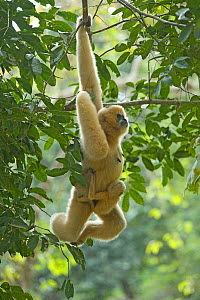 Chinese white cheeked gibbon (Nomascus leucogenys) female hanging from tree, carrying baby aged two weeks. Parents released into wild from captive breeding programme. Wild Elephant Valley / Xishuangba... - Heather Angel