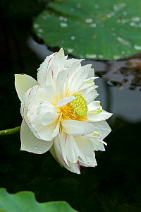 Sacred lotus (Nelumbo nucifera) flower with circular receptacle with raised stigmas surrounded by stamens. Puzhehei National Wetland Park, Yunnan Province, China. - Heather Angel