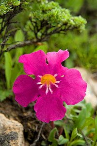 Incarvillea (Incarvillea compacta) with raindrops on petals. Near Zhedou Shan Pass, Sichuan Province, China. - Heather Angel