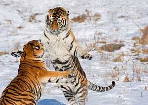 Amur / Siberian tiger (Panthera tigris altaica), two sparring in snow. Captive in tiger park, Heilongjiang Province, China. February. - Heather Angel