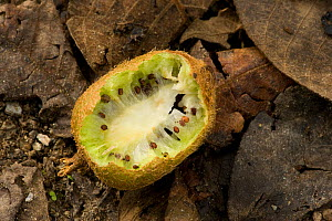 Chinese gooseberry (Actinidia chinensis) fruit, partially eaten by squirrel. Larger seeds than cultivated kiwi bred from the wild species. Tangjiahe National Nature Rerserve, Sichuan Province, China. - Heather Angel