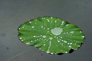Raindrops on Sacred lotus (Nelumbo nucifera) lily pad. Micro nanostructures create an ultrahydrophobic surface so water slides off leaf. Puzhehai National Wetland Park, Yunnan Province, China.  -  Heather Angel