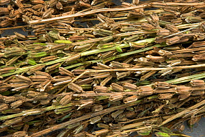 Sesame (Sesamum indicum), dried seed pods ready for seed harvesting. Sichuan Province, China. - Heather Angel