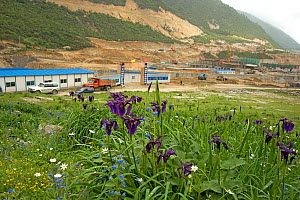 Black iris (Iris chrysographes) amongst wildflowers. Hotel and road development in background. At 2800m, between Moxi and Kangding, Sichuan Province, China. June 2009. - Heather Angel