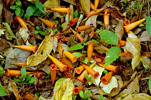 Flowers and leaves on forest floor. Xishuangbanna National Nature Reserve, Yunnan, China. - Heather Angel