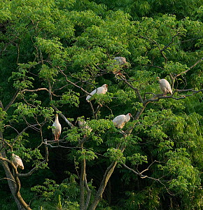 Crested ibis (Nipponia nippon) group roosting in tree at dusk. Captive bred. Yangxian, Shaanxi, China.  -  Heather Angel