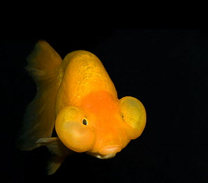 Bubble eye goldfish (Carassius auratus) with upward pointing eyes and two large fluid-filled sacs.. In captivity, Shanghai Zoo, Shanghai, China. - Heather Angel