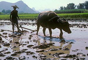 Chinese farmer wearing traditional bamboo hat ploughing flooded Rice (Oryza sativa) paddy with Water buffalo (Bubalus bubalis). Xingping, Nr Guilin, Guangxi Zhuang Autonomous Region, China. October 19... - Heather Angel