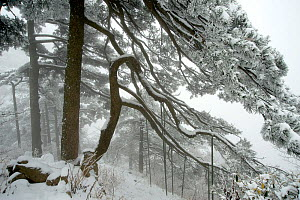 Huangshan pine (Pinus huangensis) in snow, Huangshan / Yellow Mountain, UNESCO World Heritage Site, Anhui Province, China. December. - Heather Angel