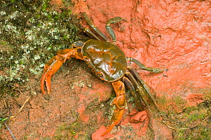 Land crab crawling on red sandstone after overnight storm. Shunan Zhuhai National Park, Sichuan Province, China.  -  Heather Angel