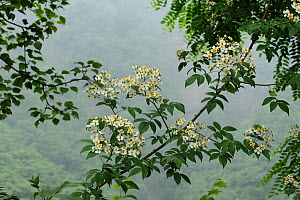 Climbing rose (Rosa filipes) flowering. Wolong, Sichuan Province, China. June. - Heather Angel