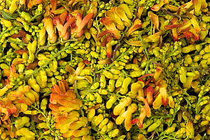 Bird flower (Polygala arillata) for sale as food, Tengchong market, Yunnan Province, China. - Heather Angel