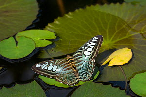 Clipper butterfly (Parthenos sylvia) resting on Water lily (Nymphaceae) pad. Butterfly house, Yunnan Province, China. - Heather Angel