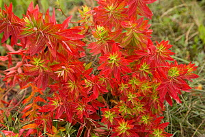 Euphorbia (Euphorbia jolkinii) leaves turning red in autumn. Napa Hai, Shangri-la, Yunnan Province, China. September.  -  Heather Angel